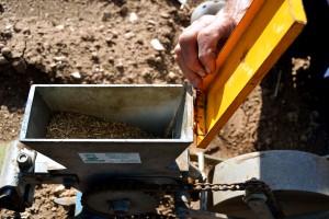 Dettaglio del seme della carota di Polignano pronto per essere distribuito.