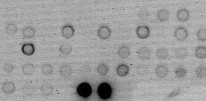 Accertamento dello stato fitosanitario dei carducci mediante la tecnica della ibridazione a macchia. Le macchie di colore nero indicano positività alla presenza del virus.