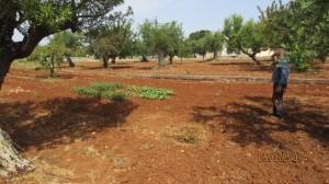 Foto 3- Coltivazione in seccagno di Barattiere