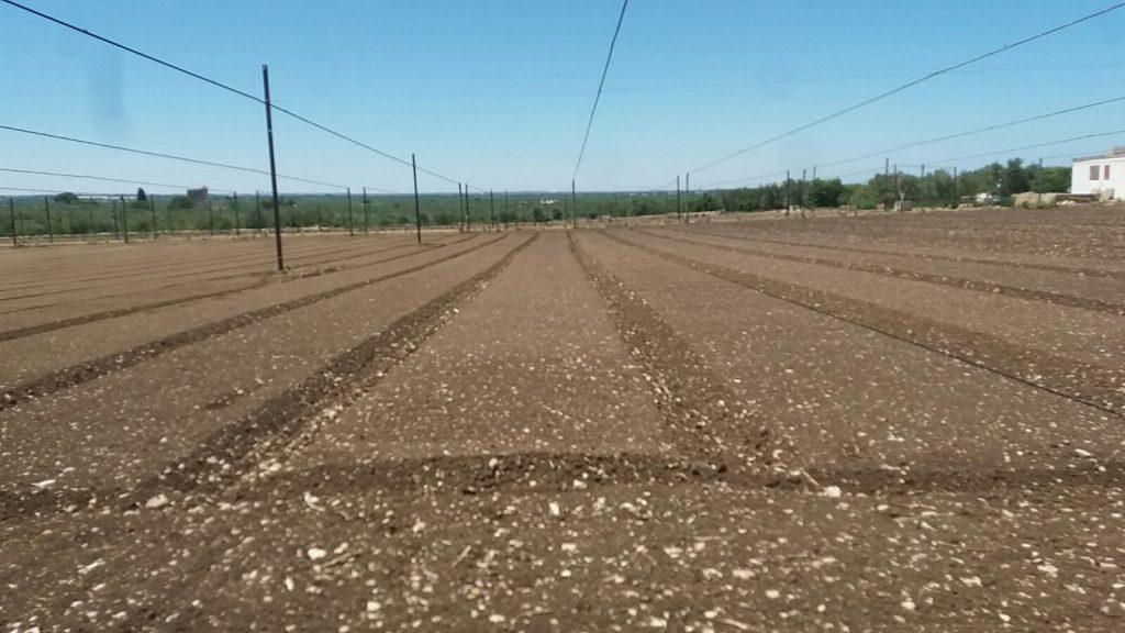 Preparazione letto di semina e semina cicoria molfettese biodiversobiodiverso - Letto di semina ...